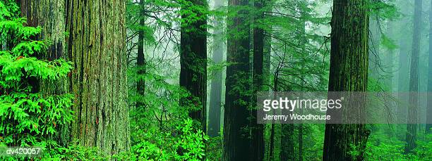 redwood forest, california, usa - jeremy woodhouse stock photos and pictures