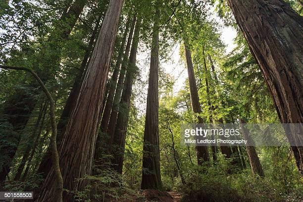 redwood forest in california - big basin redwoods state park stock pictures, royalty-free photos & images