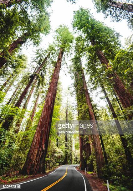 redwood forest in california - redwood tree stock photos and pictures