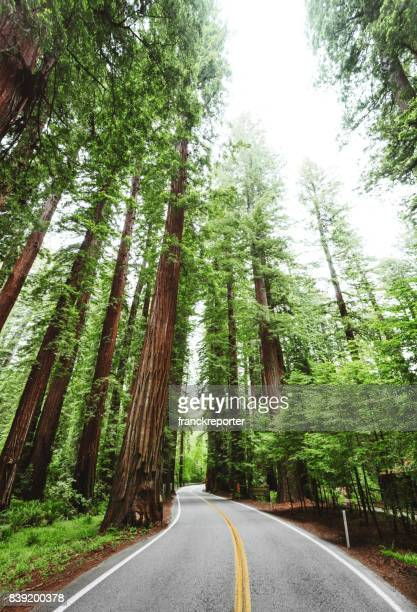 redwood forest in california - humboldt redwoods state park stock photos and pictures