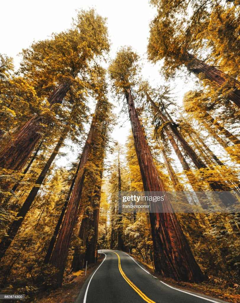 redwood forest in california : Stock Photo