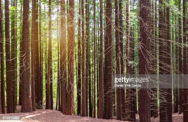 redwood forest panorama - redwood tree stock photos and pictures