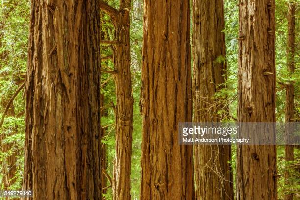 redwood forest panoramic - muir woods stock photos and pictures
