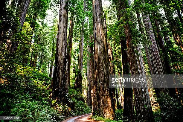 redwood forest - redwood tree stock photos and pictures
