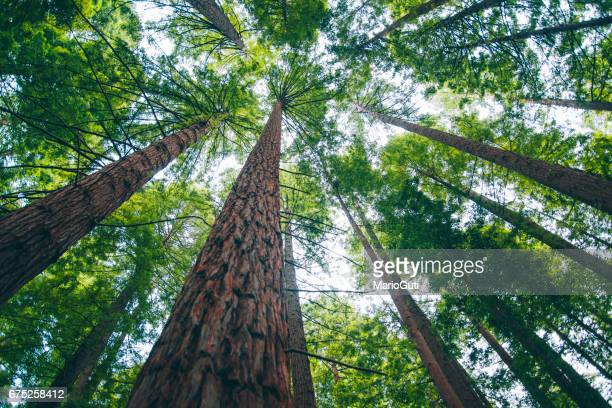 redwood forest - looking up stock pictures, royalty-free photos & images