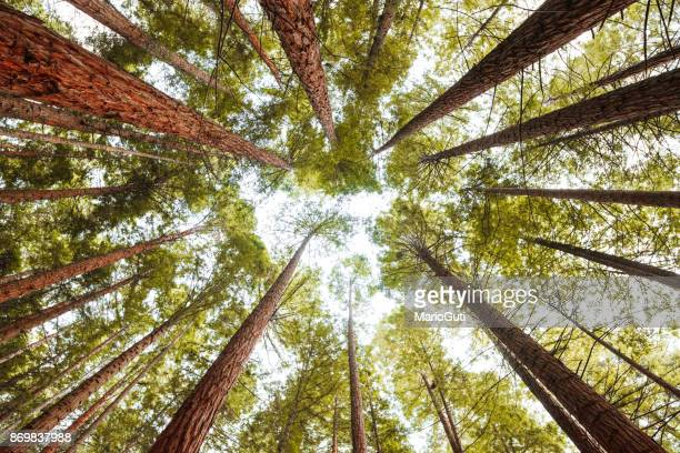 redwood forest - tall high stock photos and pictures