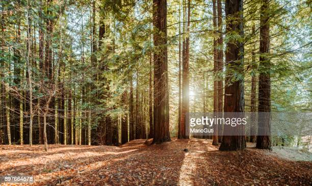 redwood forest - woodland stock pictures, royalty-free photos & images