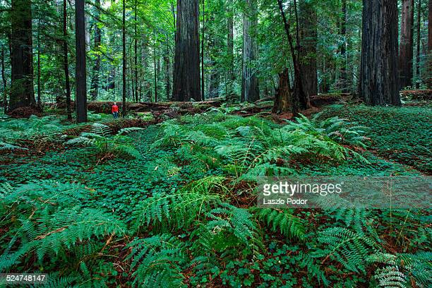 redwood forest undergrowth - humboldt redwoods state park stock photos and pictures