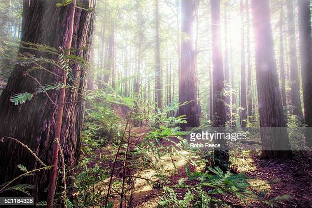 redwood forest with glowing sunlight and fog through the trees - robb reece stock pictures, royalty-free photos & images