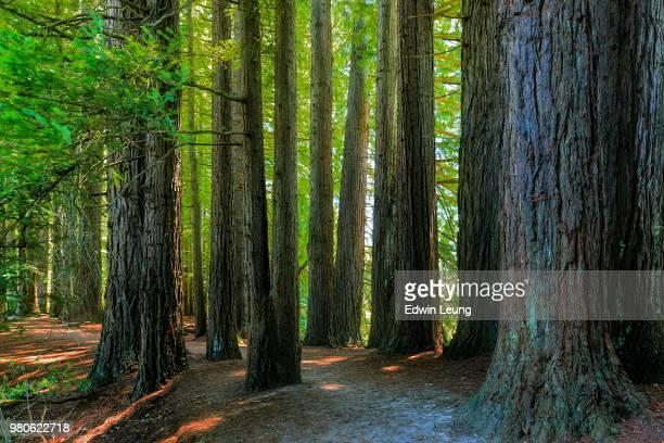 redwood forrest - dicht stock-fotos und bilder