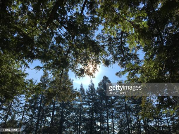redwood grove with sun behind branches - jason todd stock photos and pictures