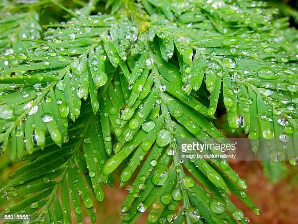 Redwood