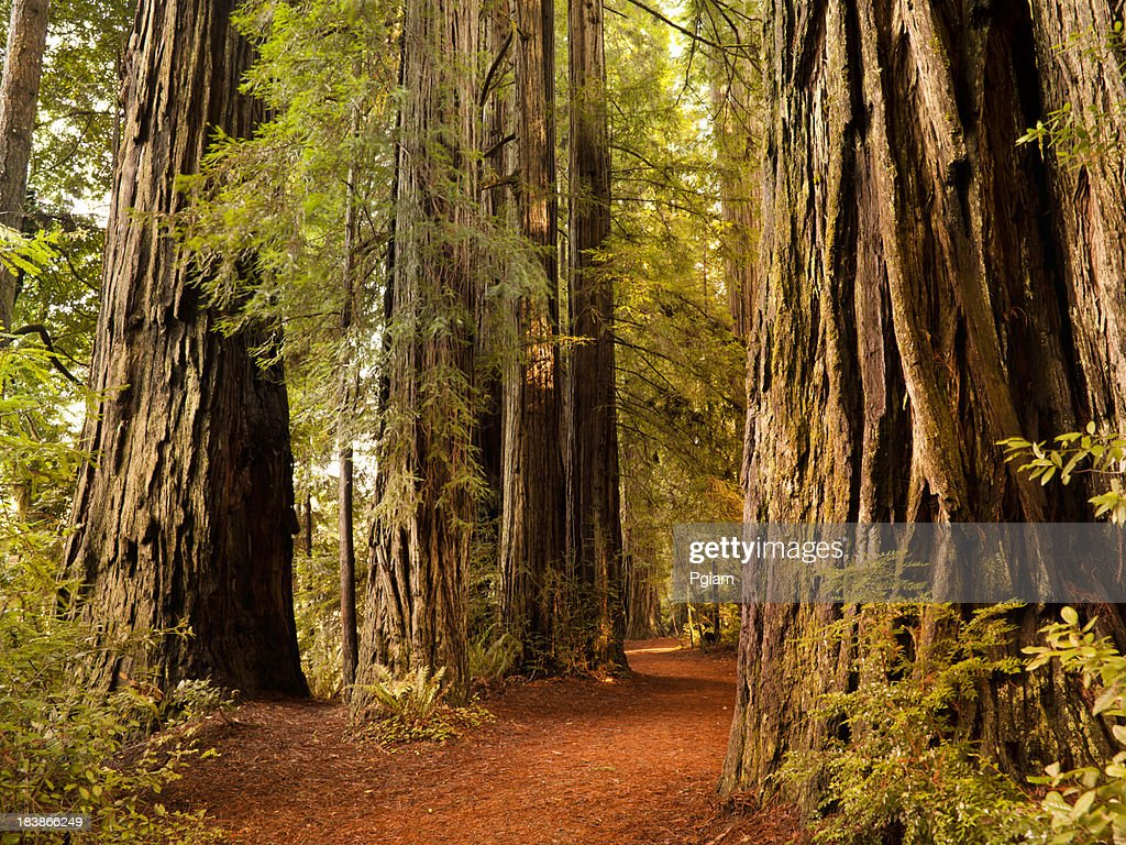 Redwood trail through trees in the forest : Stock Photo