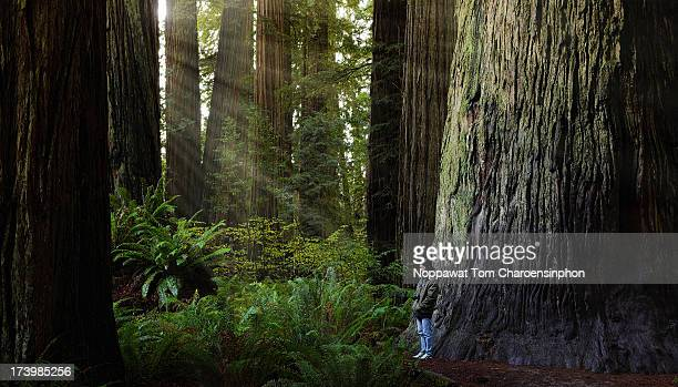 redwood tree in stout grove - redwood tree stock photos and pictures