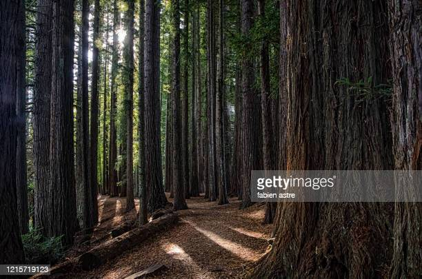 redwood tree trunks, the redwoods (whakarewarewa forest) - new zealand stock pictures, royalty-free photos & images