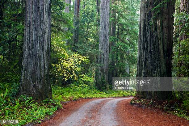 redwood trees along the jedidiah smith redwoods pk - state park stock pictures, royalty-free photos & images