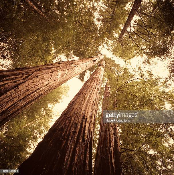 Redwood trees en el norte de California