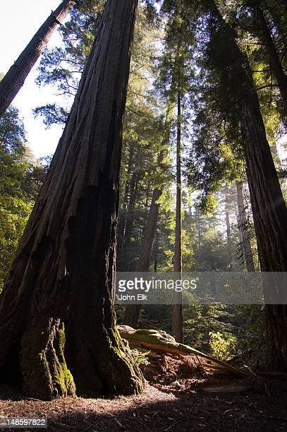 redwood trees. - big basin redwoods state park stock pictures, royalty-free photos & images