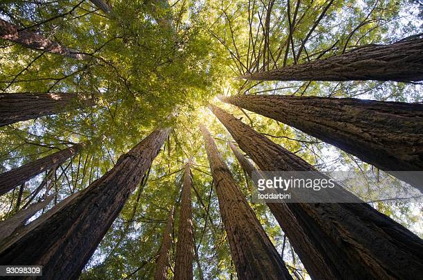 Redwood Trees Wide Angle