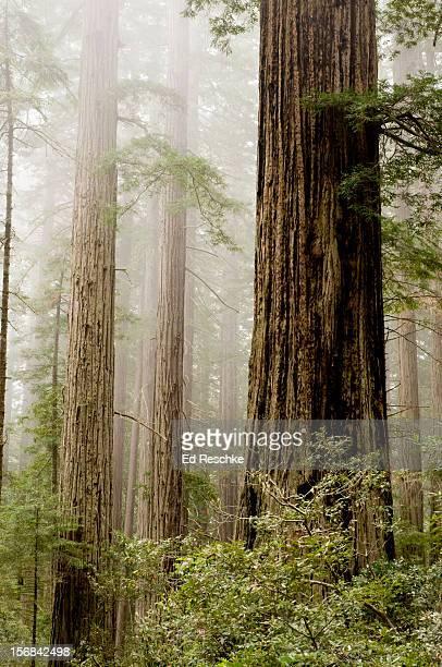 redwoods (sequoia sempervirens) and coastal fog - ed reschke photography imagens e fotografias de stock