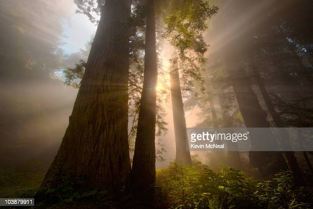redwoods and sunrays, california - redwood tree stock photos and pictures
