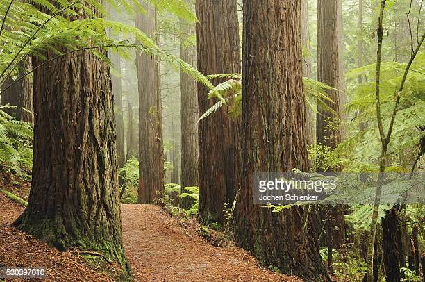 Redwoods and Tree Ferns, The Redwoods, Rotorua, Bay of Plenty, North Island, New Zealand, Pacific