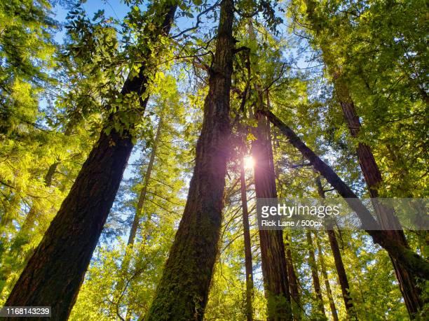 redwoods at big basin redwoods state park - big basin redwoods state park stock pictures, royalty-free photos & images