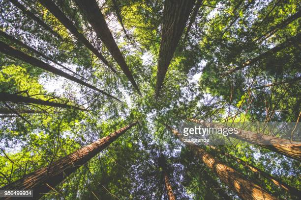 redwoods forest from below - environmental issues stock pictures, royalty-free photos & images