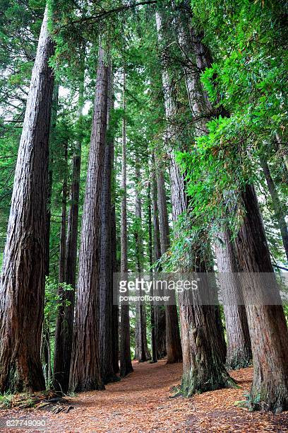 redwoods forest in hamurana springs, new zealand - rotorua stock pictures, royalty-free photos & images