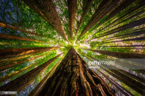 redwoods forest - tree stock pictures, royalty-free photos & images