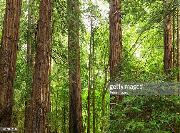 redwoods in muir woods national park california usa - muir woods stock photos and pictures