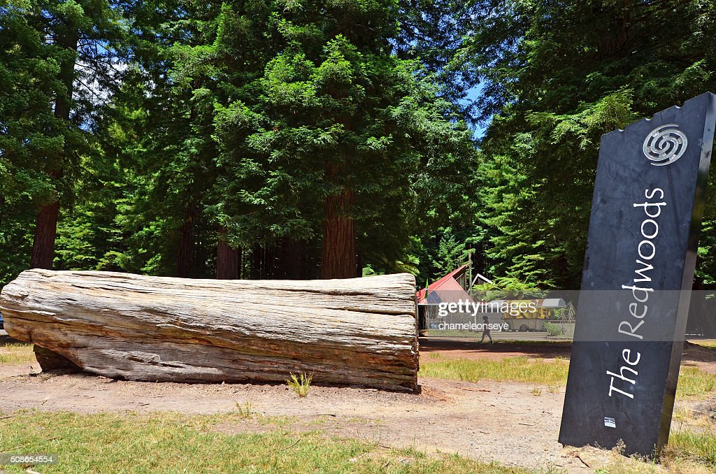 Redwoods in Rotorua New Zealand : Stock Photo