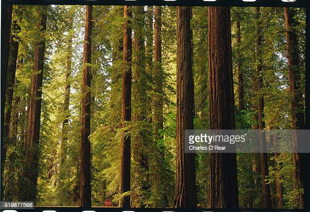 redwoods - state park stock pictures, royalty-free photos & images