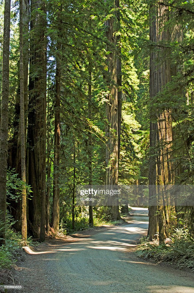 Redwoods : Stock Photo