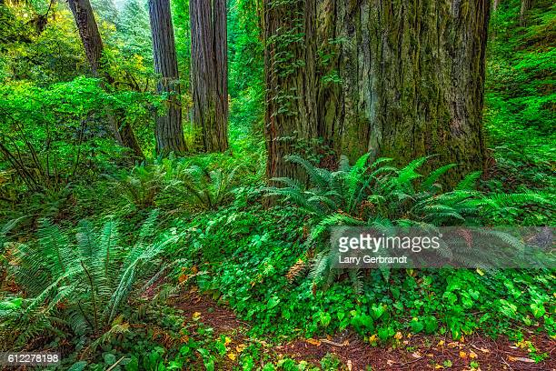 redwoods - stout grove - northern california - humboldt redwoods state park stock photos and pictures