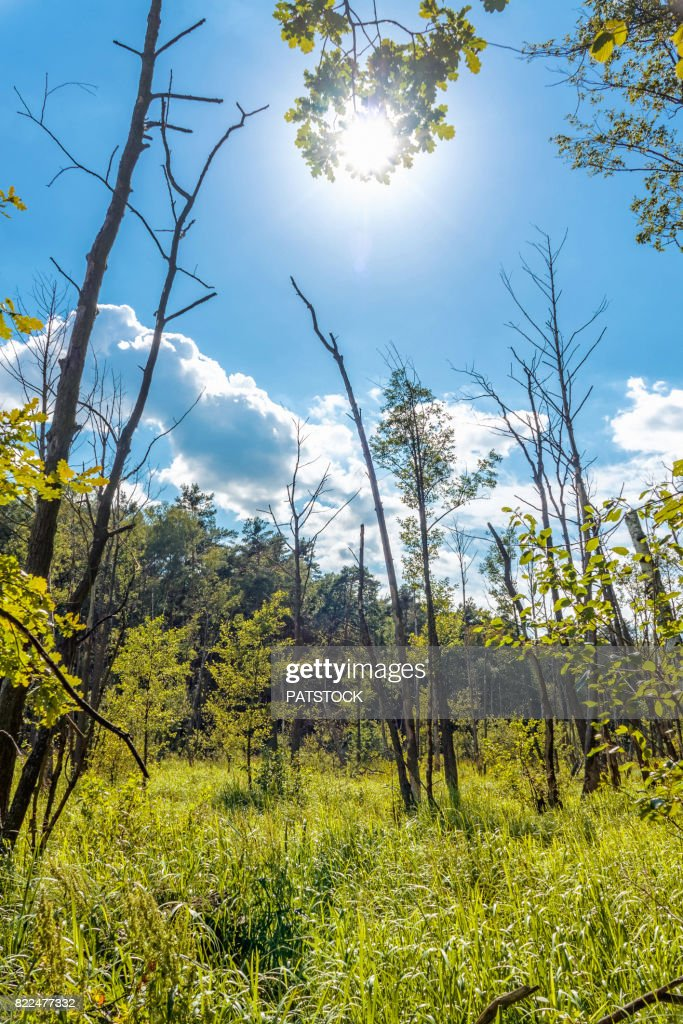 Reed and mire against the sun : Stock Photo