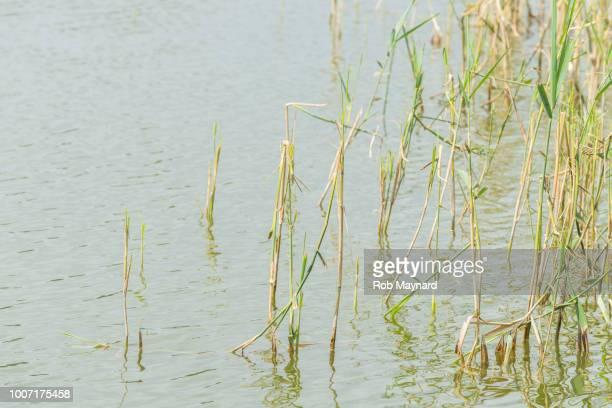 Reed at the lake