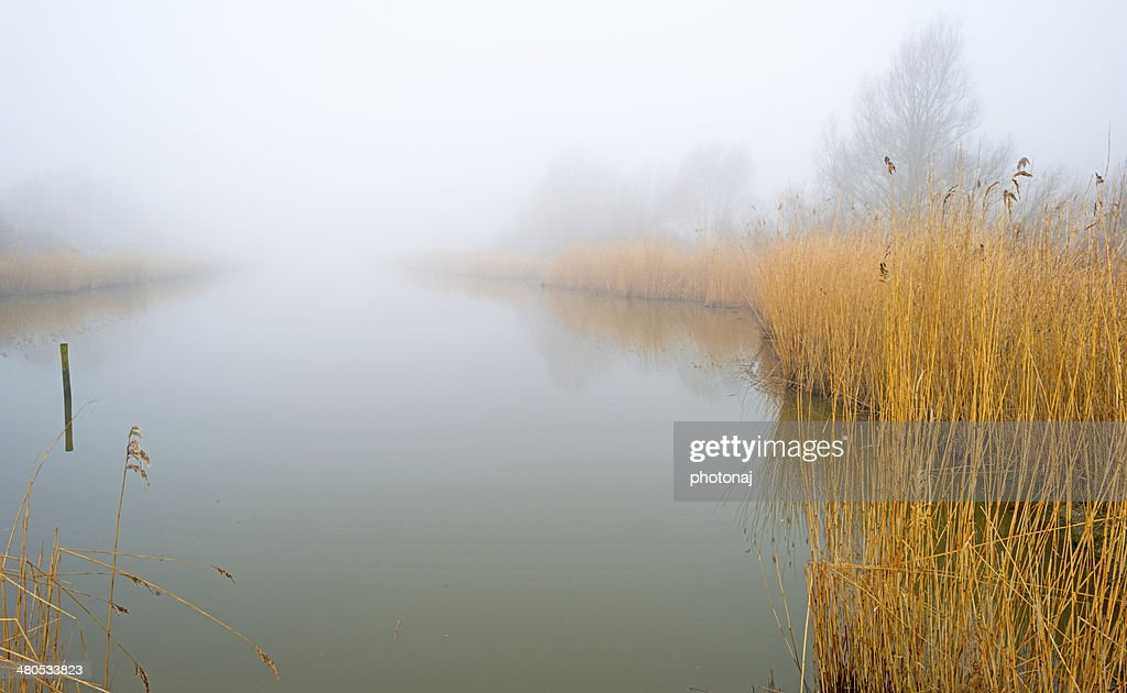 Reed bed along a lake in a foggy winter : Stockfoto