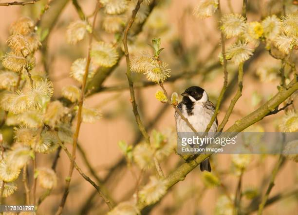 Reed Bunting Emberiza schoeniclus male in spring Norfolk UK