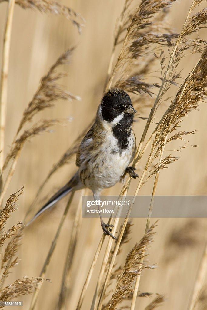 Reed Bunting (Emberiza schoeniclus) : Stock-Foto