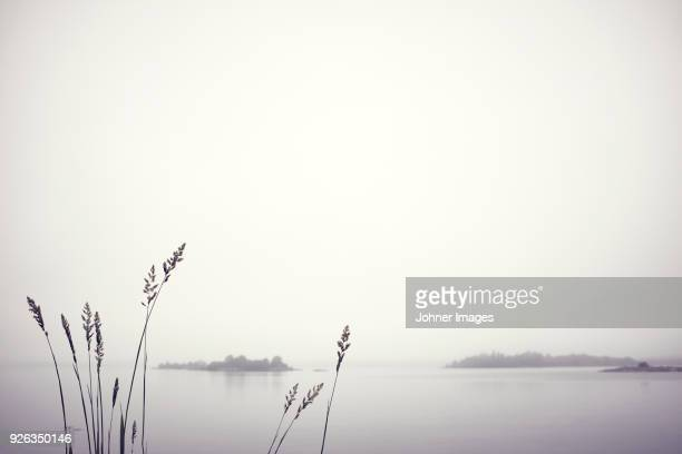 reed by foggy lake - reed grass family stock photos and pictures