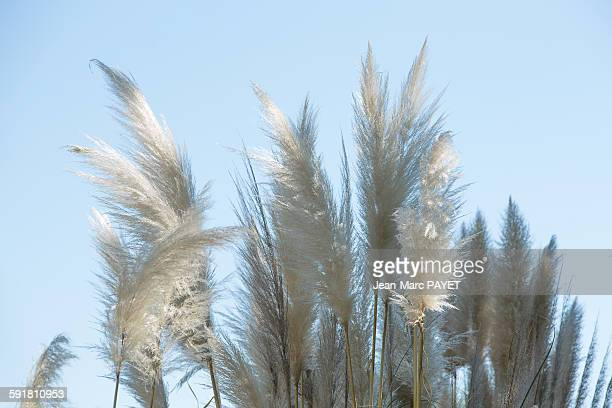 reed flowers or canne de provence - jean marc payet stockfoto's en -beelden