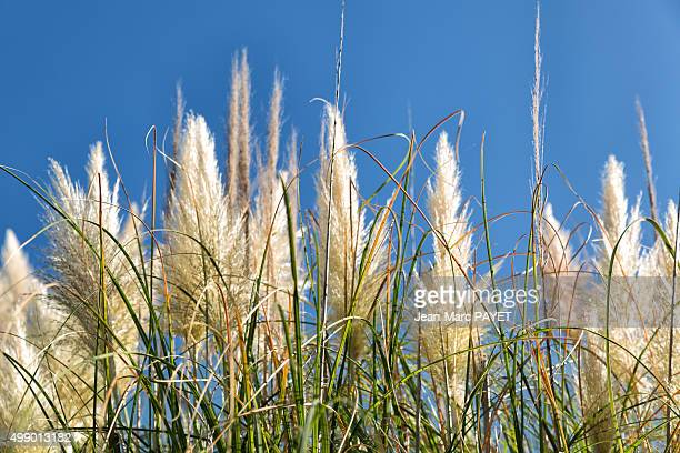 reed flowers or canne de provence under blue sky - jean marc payet stockfoto's en -beelden