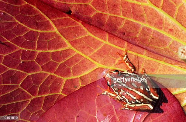 Reed Frog (Hyperolius marmoratus), overhead view