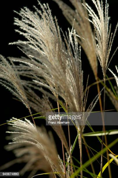 reed, gras-like plants of wetland - gras stock pictures, royalty-free photos & images