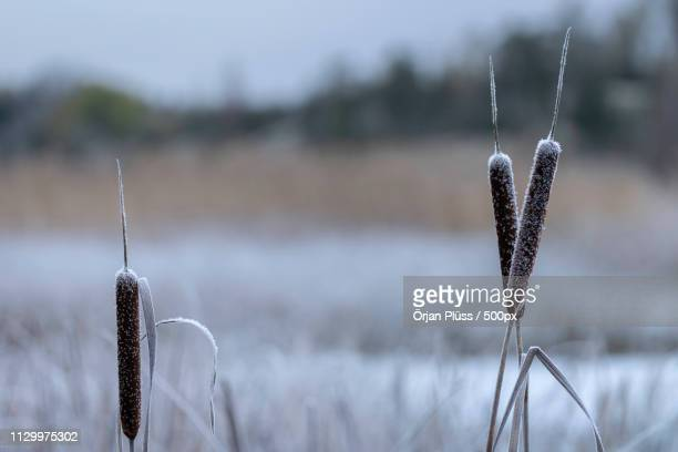 reed grass frozen in winter - reed grass family stock photos and pictures