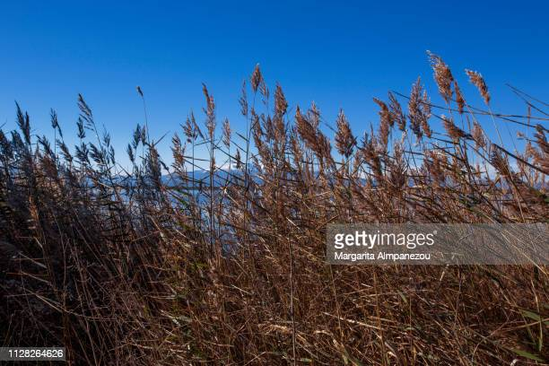 Reed grass moving by the wind