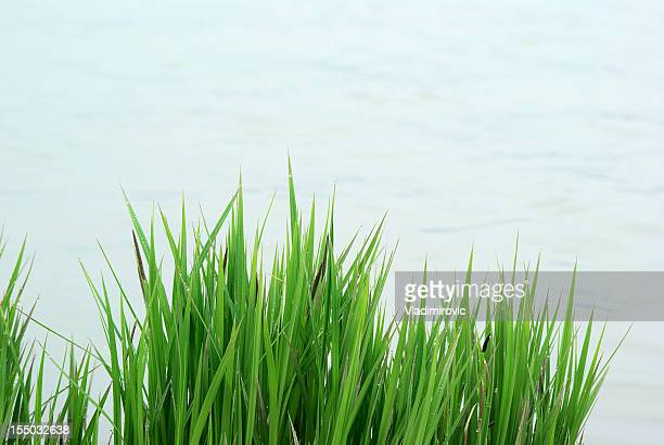 reed grass water