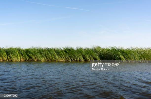 reed growing along banks of lake, friesland, netherlands - reed grass family stock pictures, royalty-free photos & images