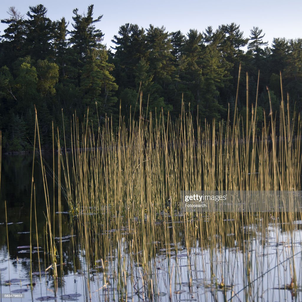 Reed growing in a lake : Stock Photo